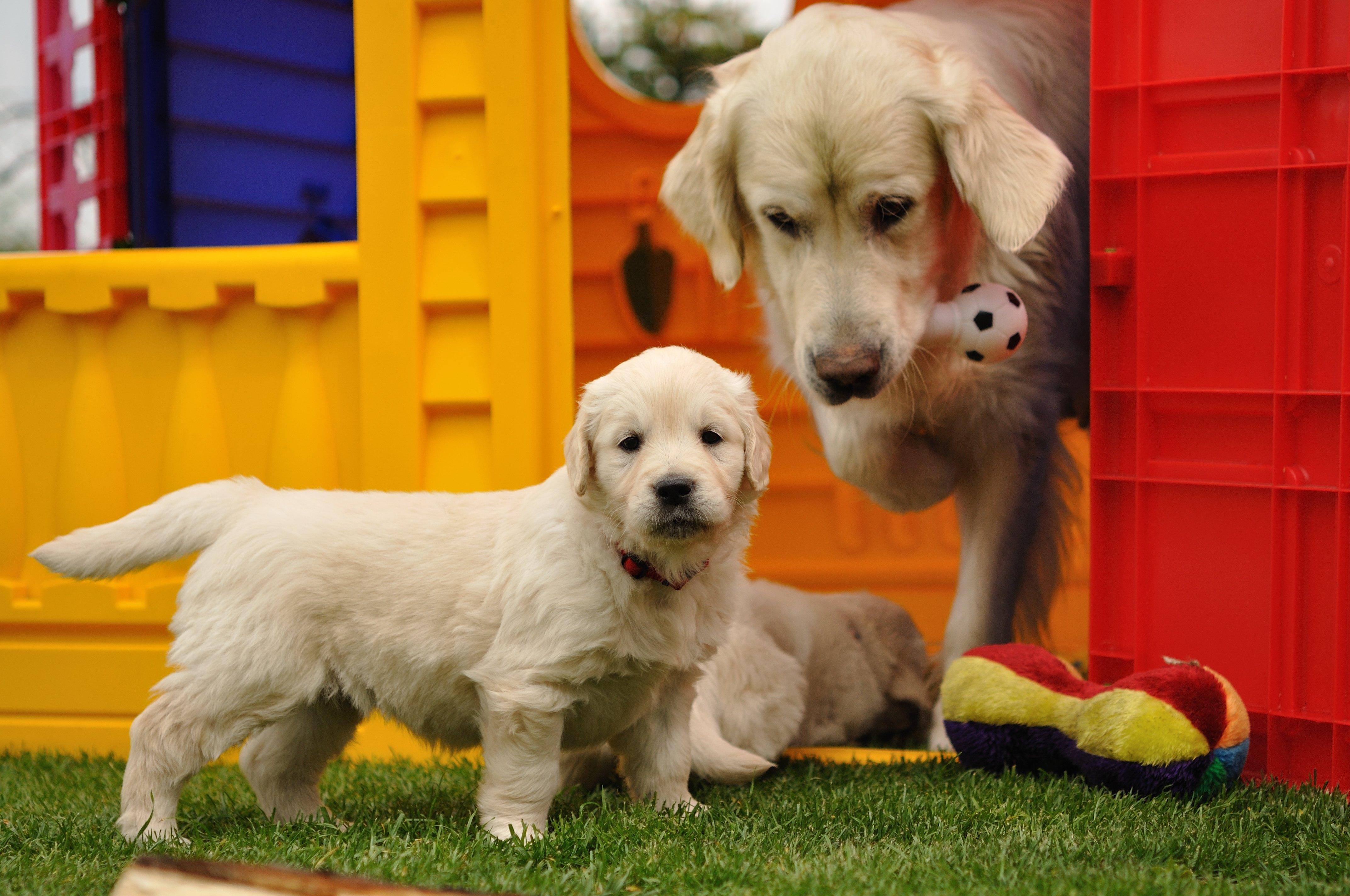puppy-weaning