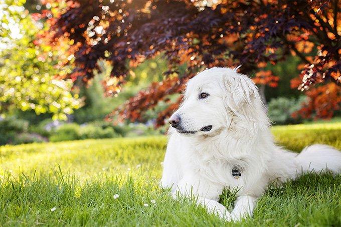 pyrenean-mountain-dog-puppies-health