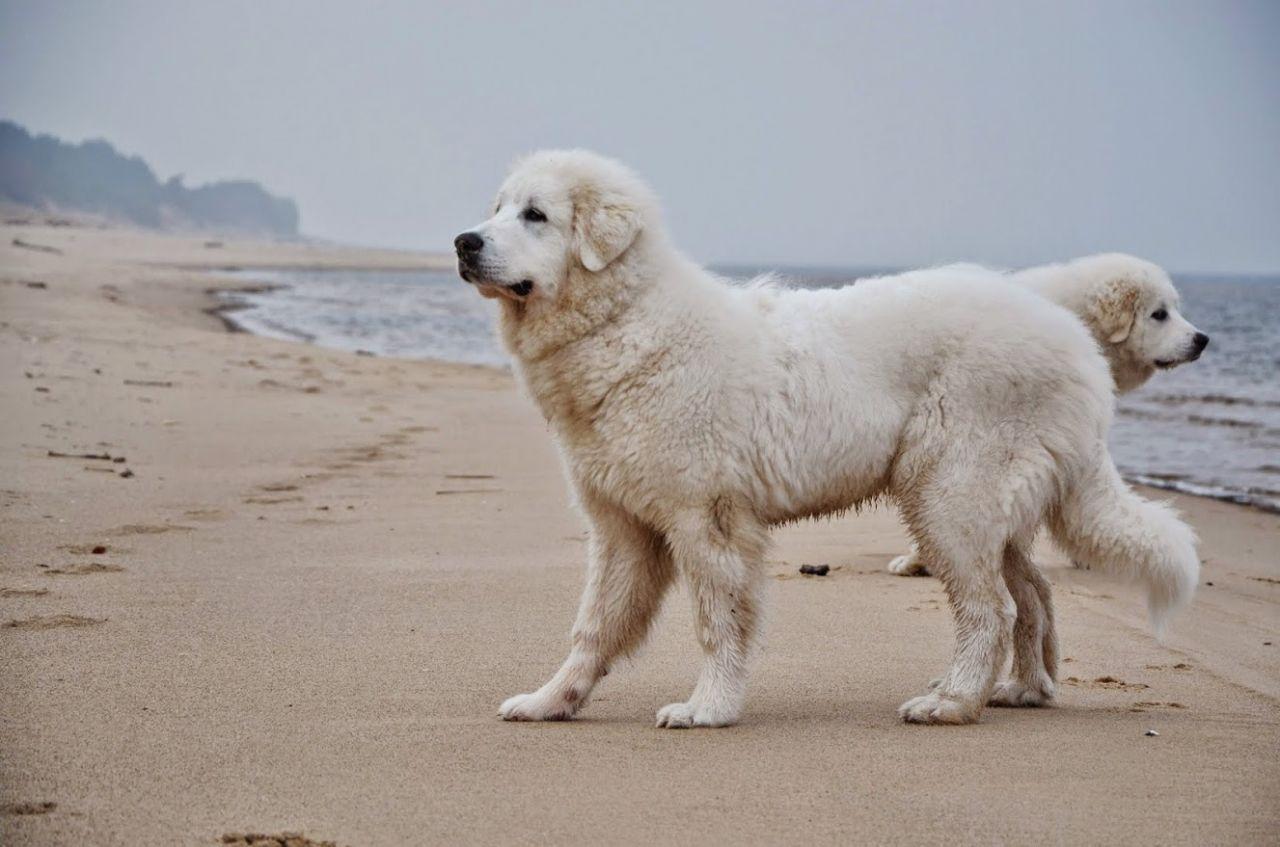 pyrenean-mountain-dog-puppies