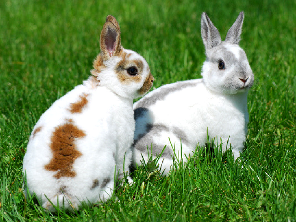 rabbit-breed