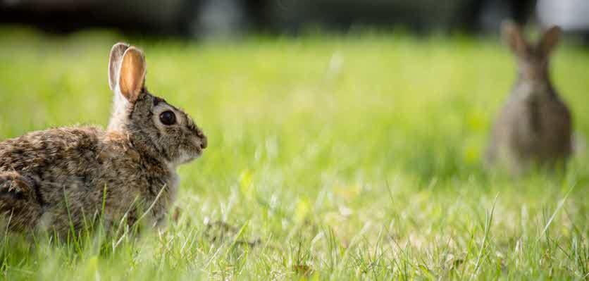 rabbit strangles