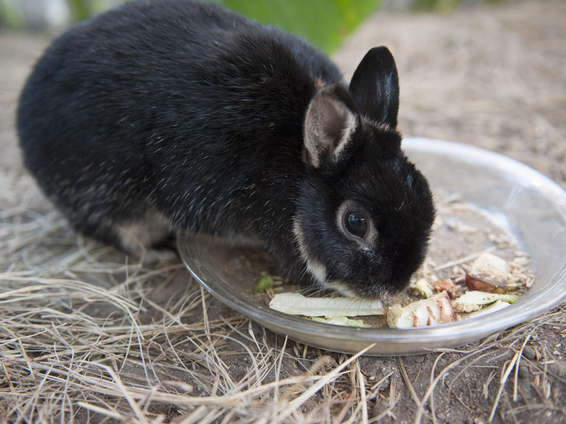 rabbit-tapeworms