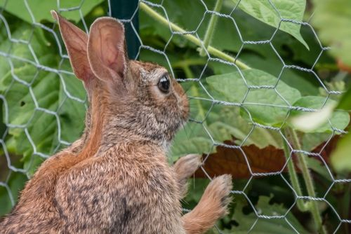 rabbitproof fence