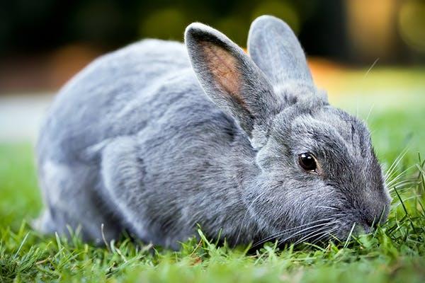 rabbits-diseases