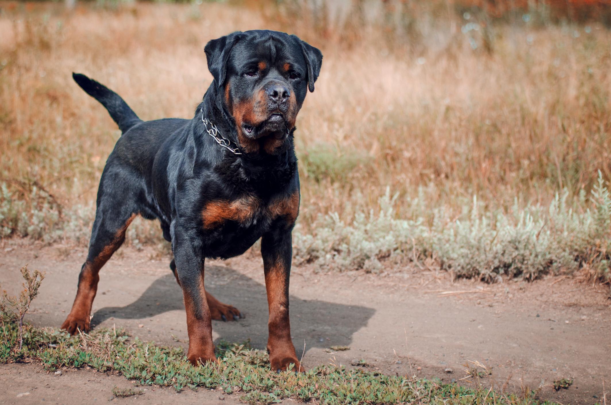 rottweiler-dog