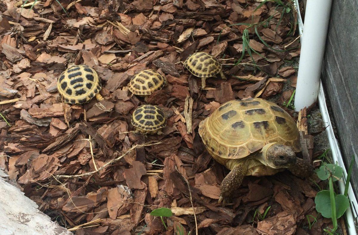 russisn-tortoise-food