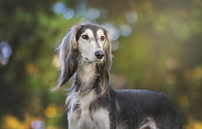 saluki-dog-charcterstics