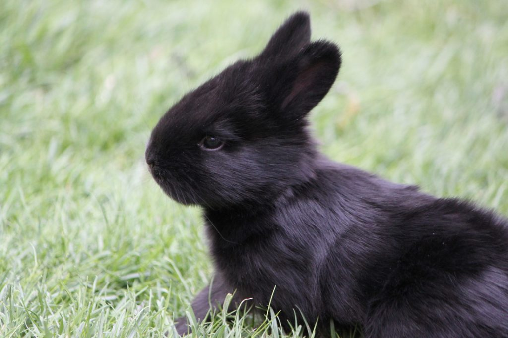 satin-angora-rabbit