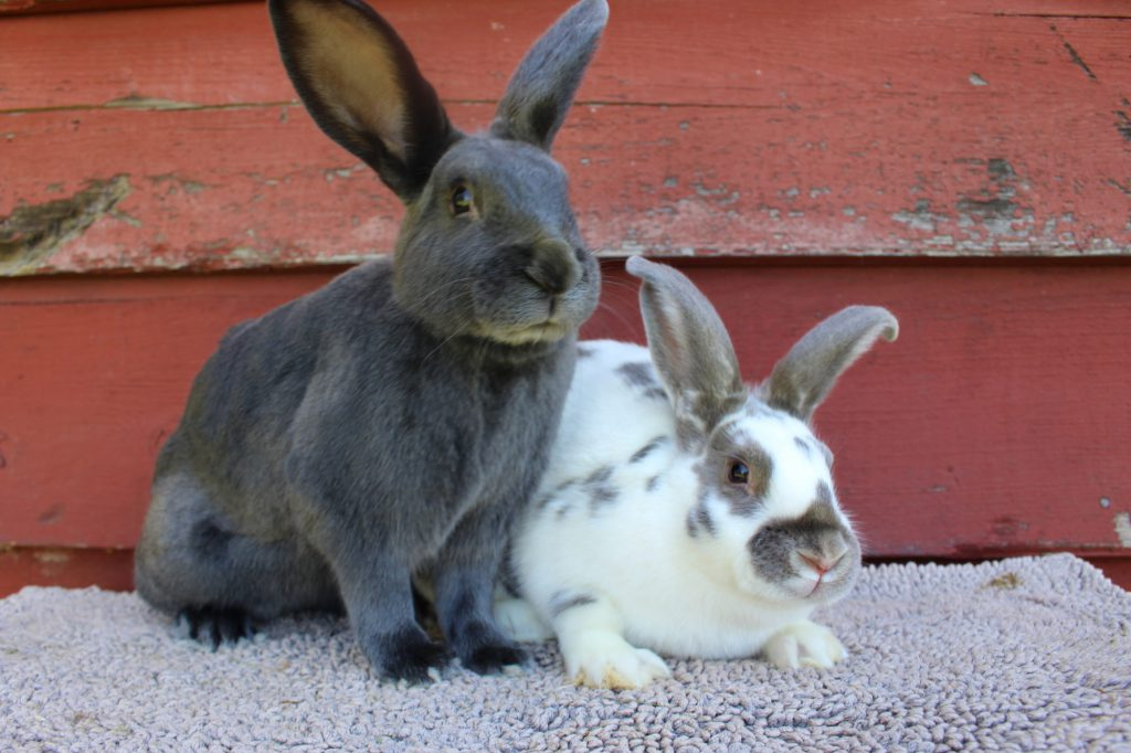 satin-rabbit-charcterstics