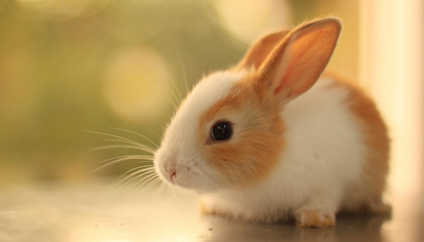 satin-rabbit