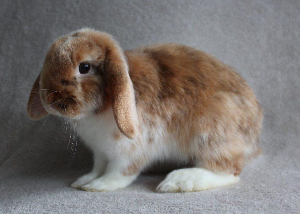 satin-rabbit-history