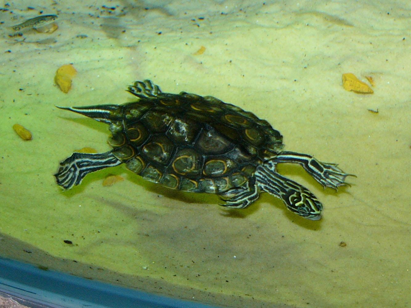 type-of-turtle-sawback-turtle