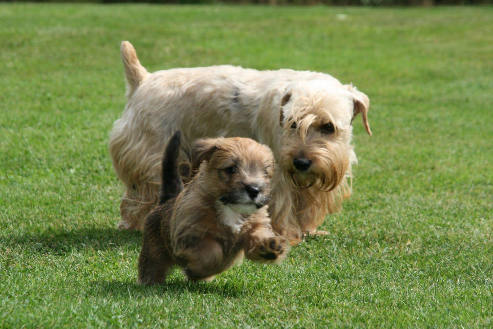 sealyham-terrier-characterstics