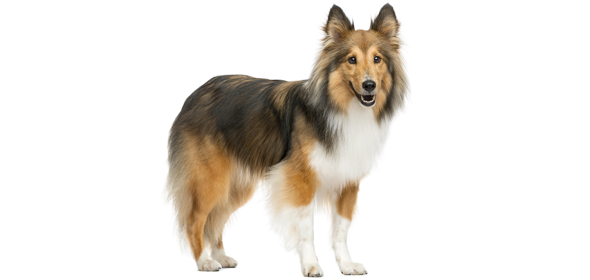 shetland-sheepdog-dog