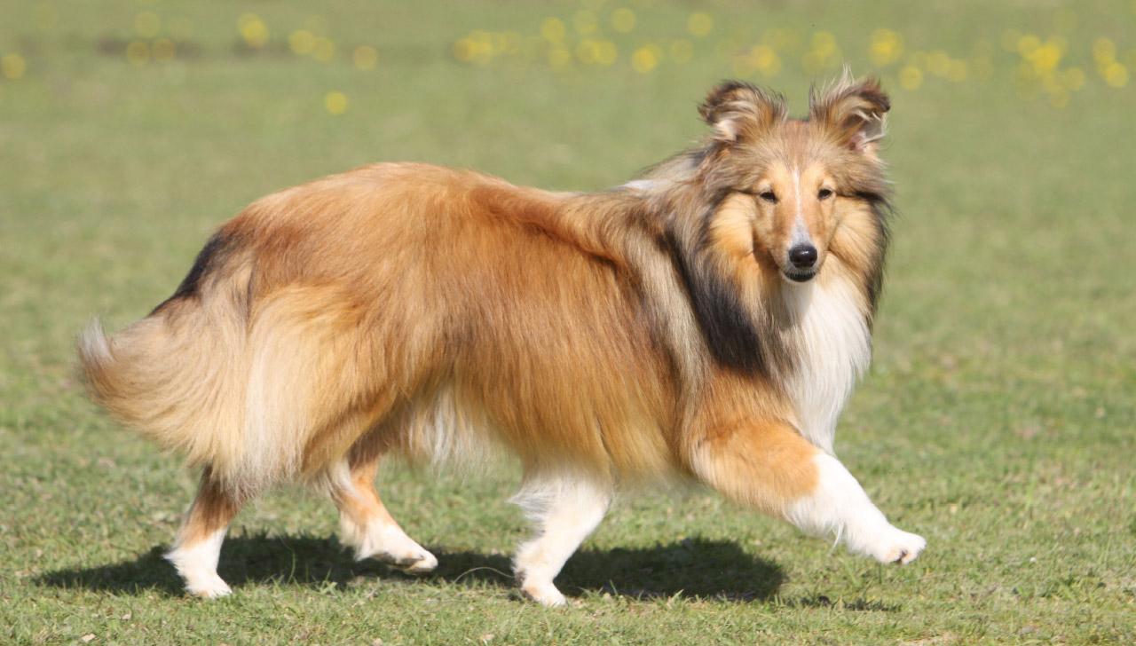 shetland-sheepdog-tempraments