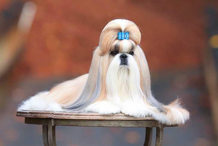 shih-tzu-breed-of-dog