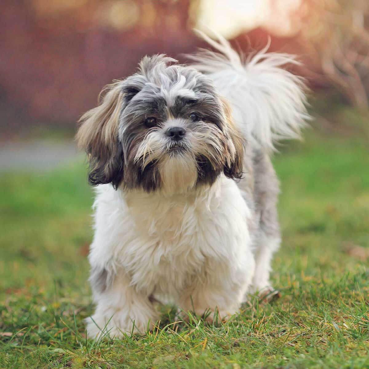 shih-tzu-dog-breed
