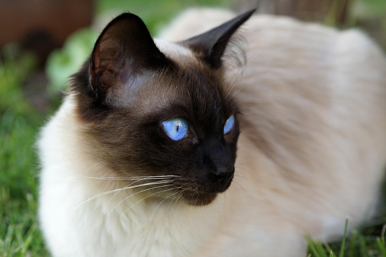 siamese-cat-health