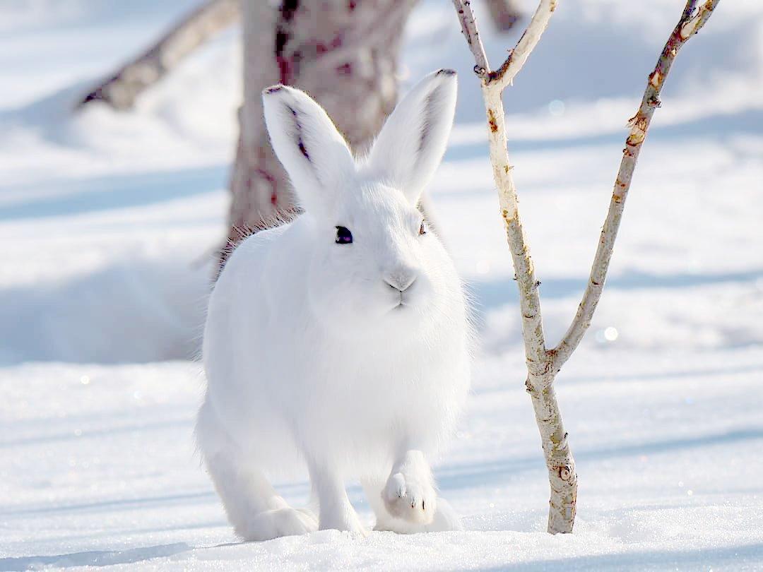 siberian-rabbit-breeds