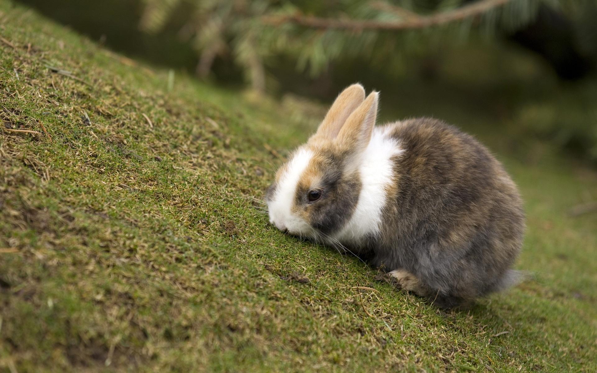 siberian-rabbits-breed