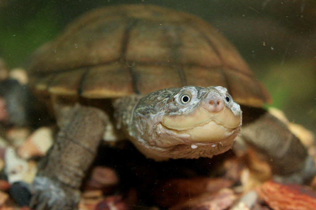 side-necked-turtle