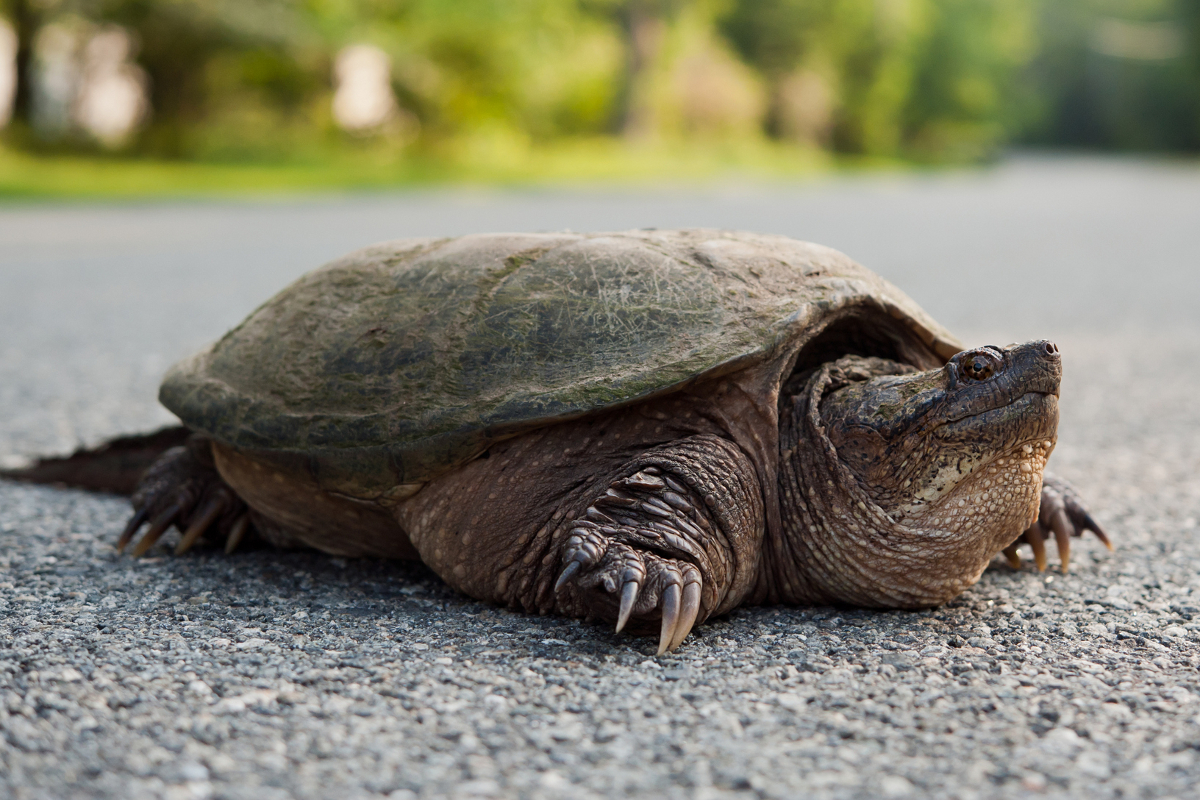 snapping-turtles-food