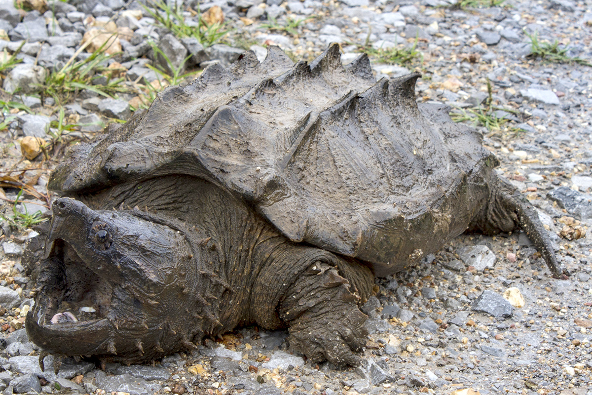 snapping-turtles-life