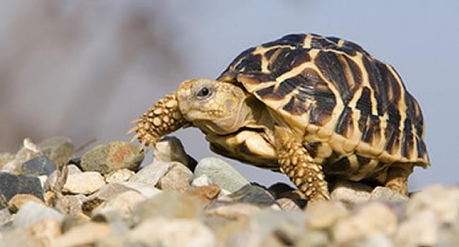 star-tortoise