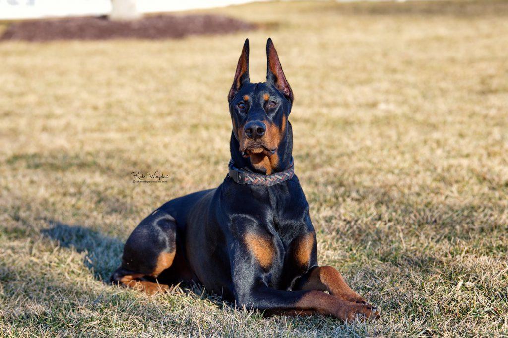 stud-dog-choosing