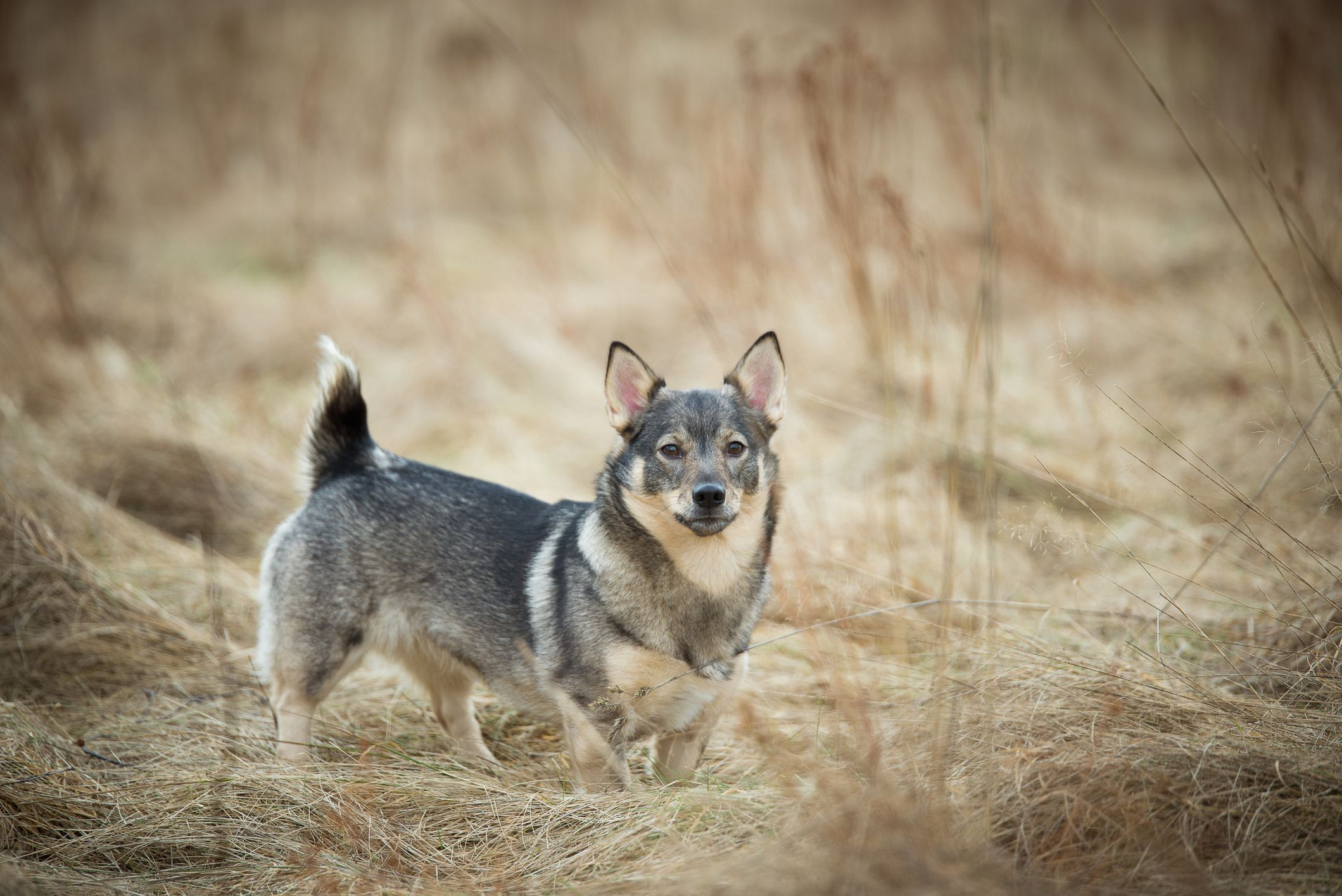swedish-vallhund-dog