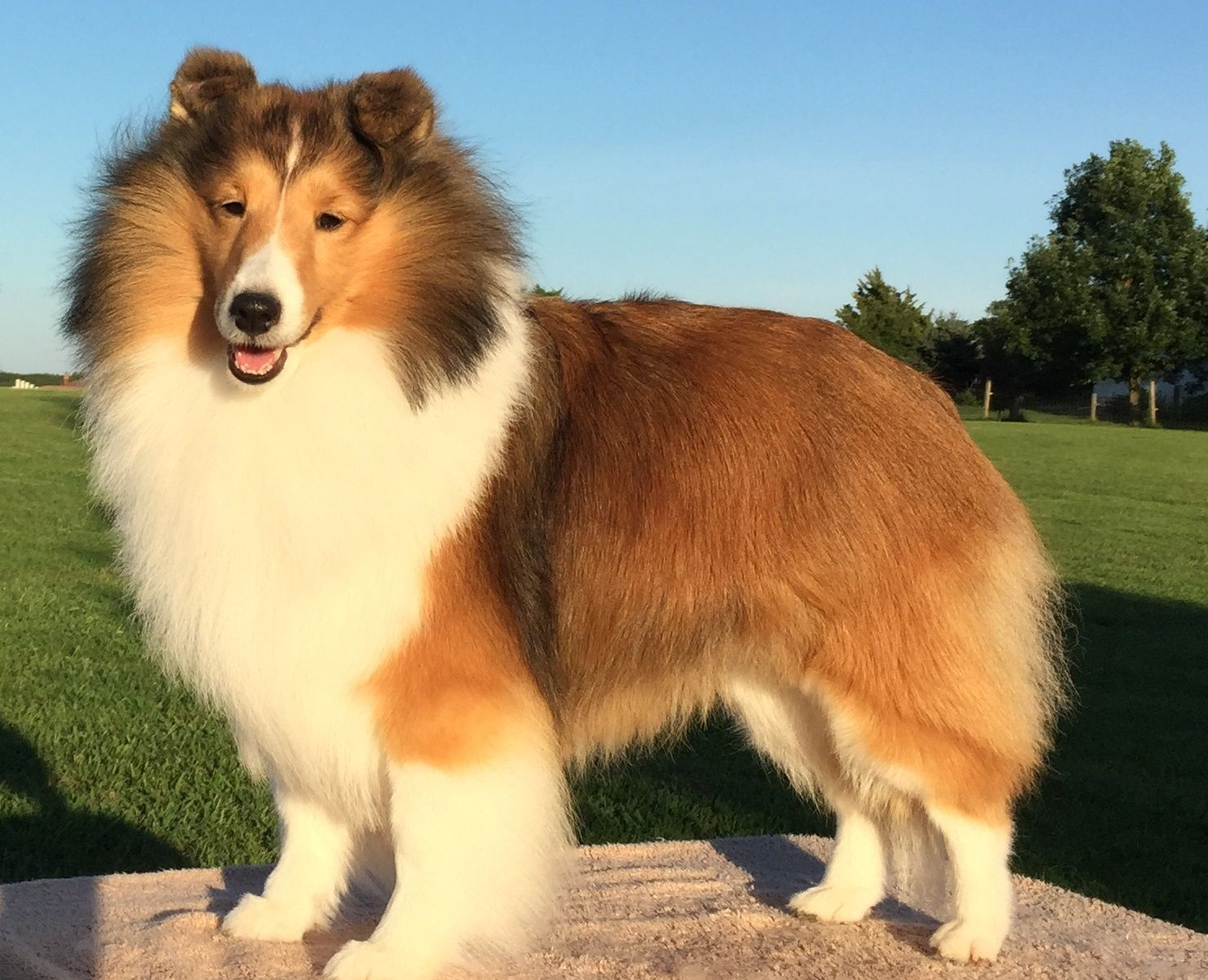 taking-a-sheltie-puppy-home