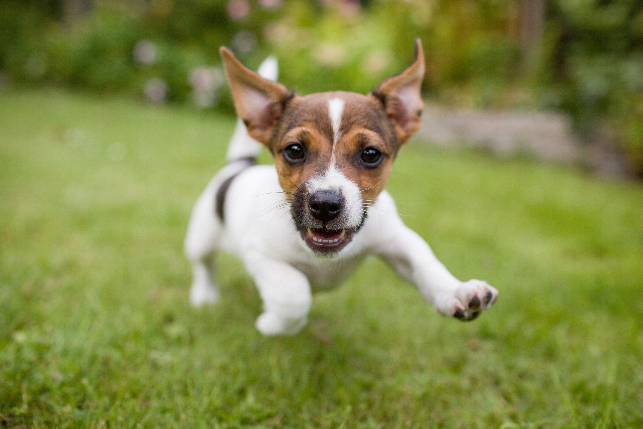 toy-fox-terrier