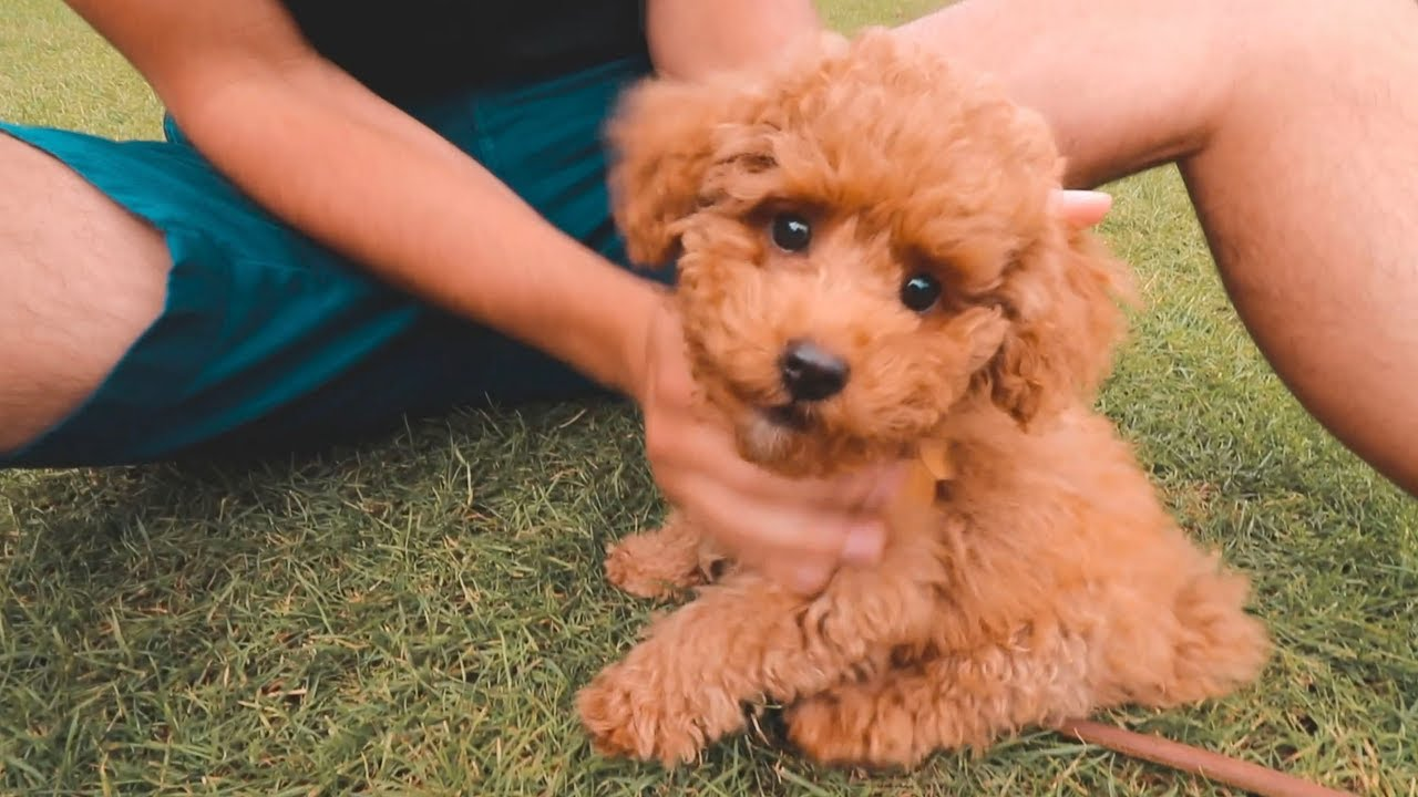 toy-poodle-chacterstics