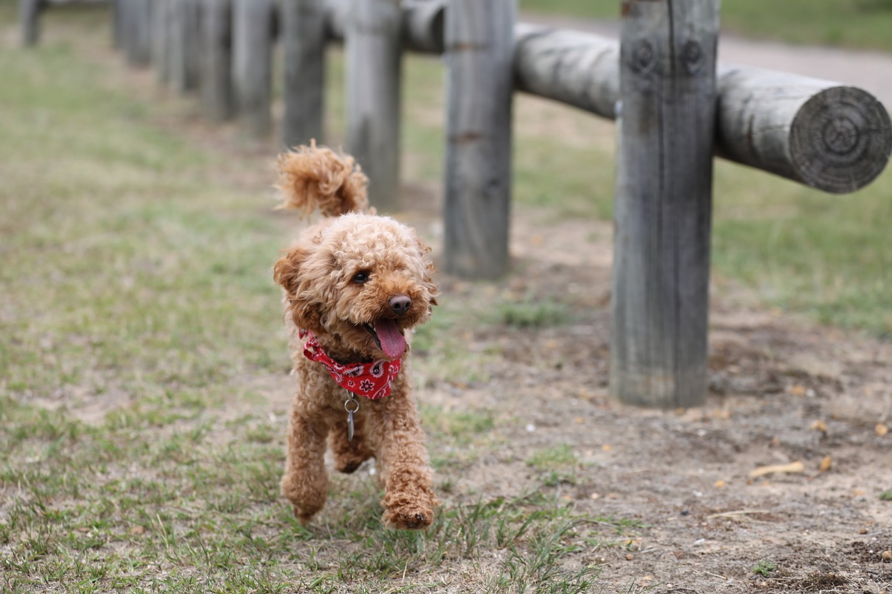 toy-poodle-health
