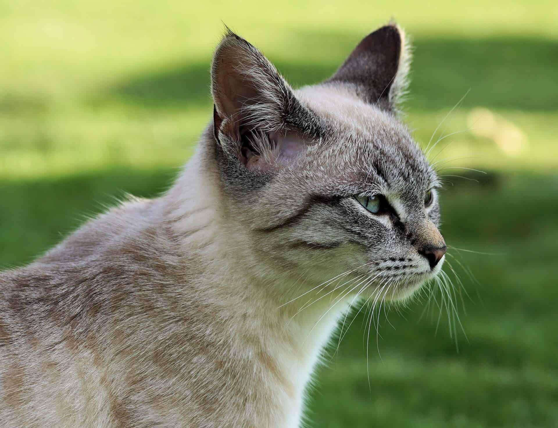 underweight-cat
