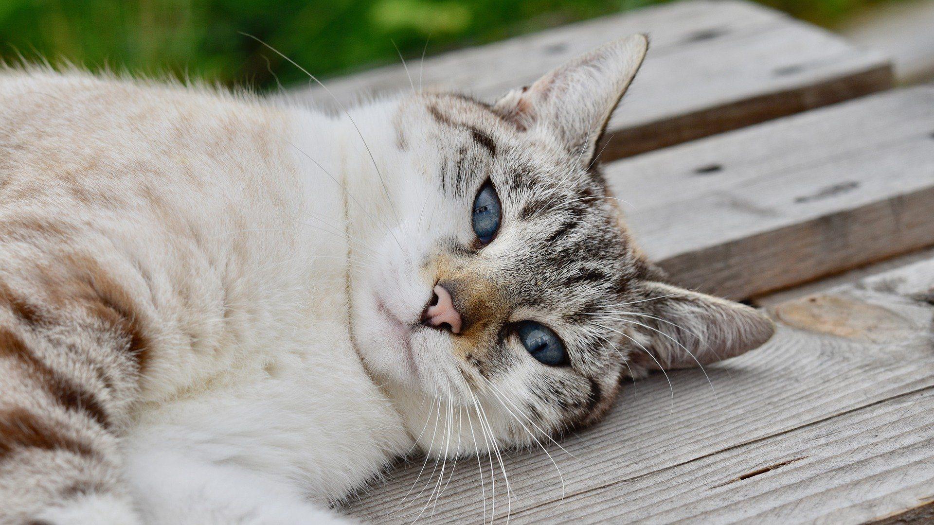 veginal-discharge-cat