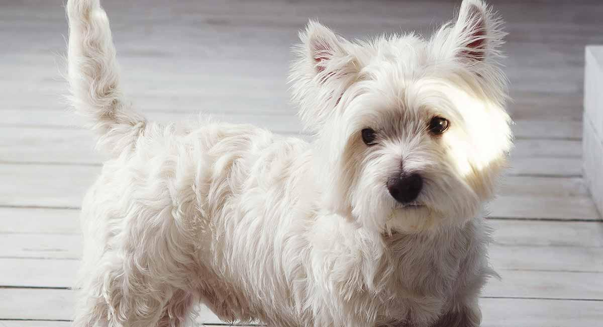 west-highland-white-terrier