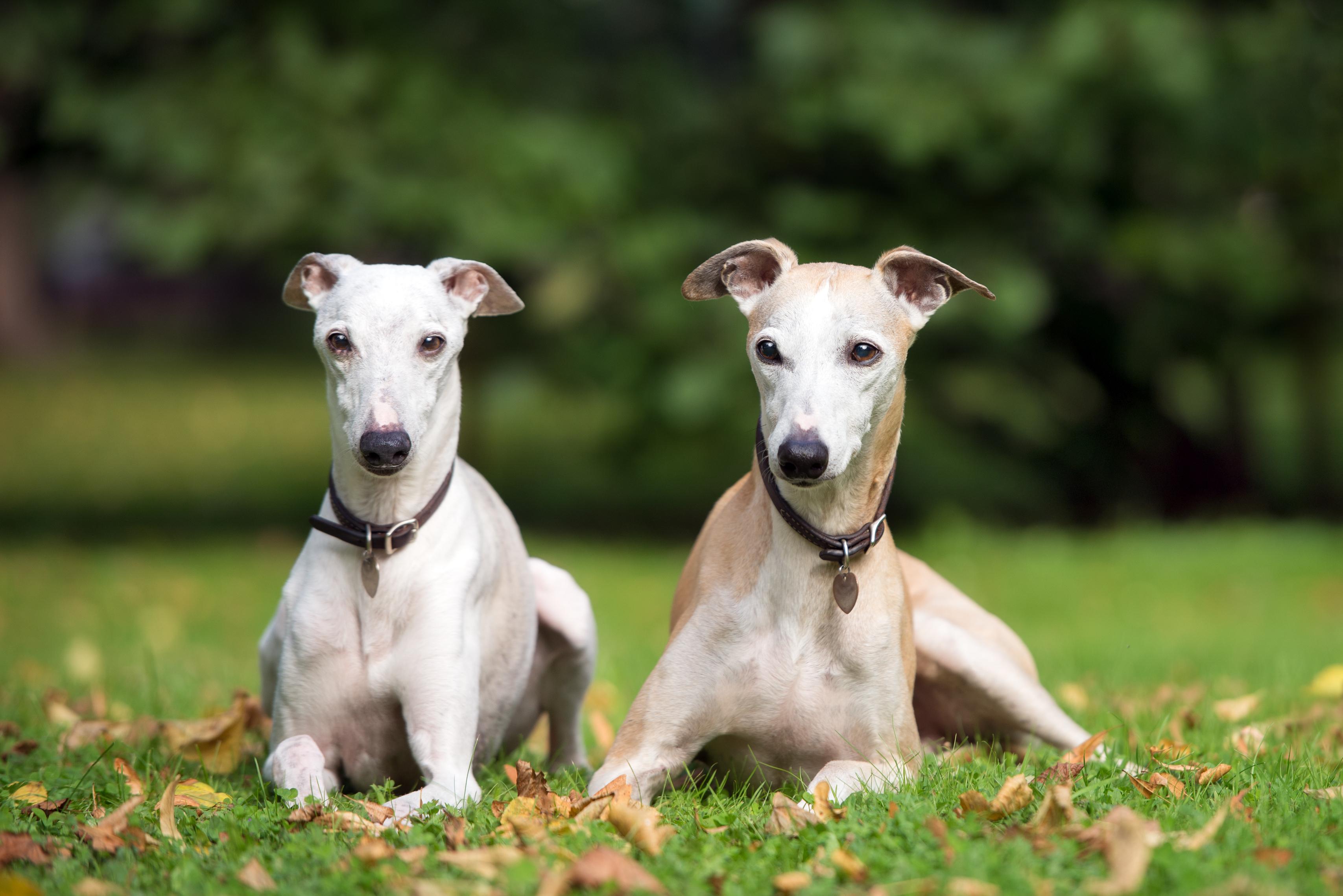 whippet-dog-Health