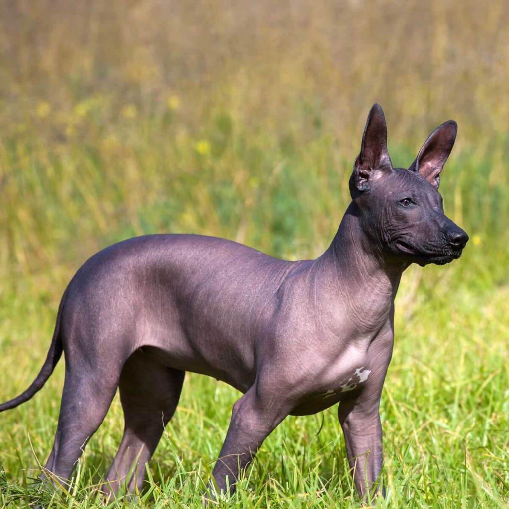 xoloitzcuintle-dog