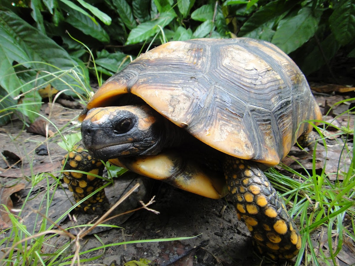 yellow-footed-tortoise