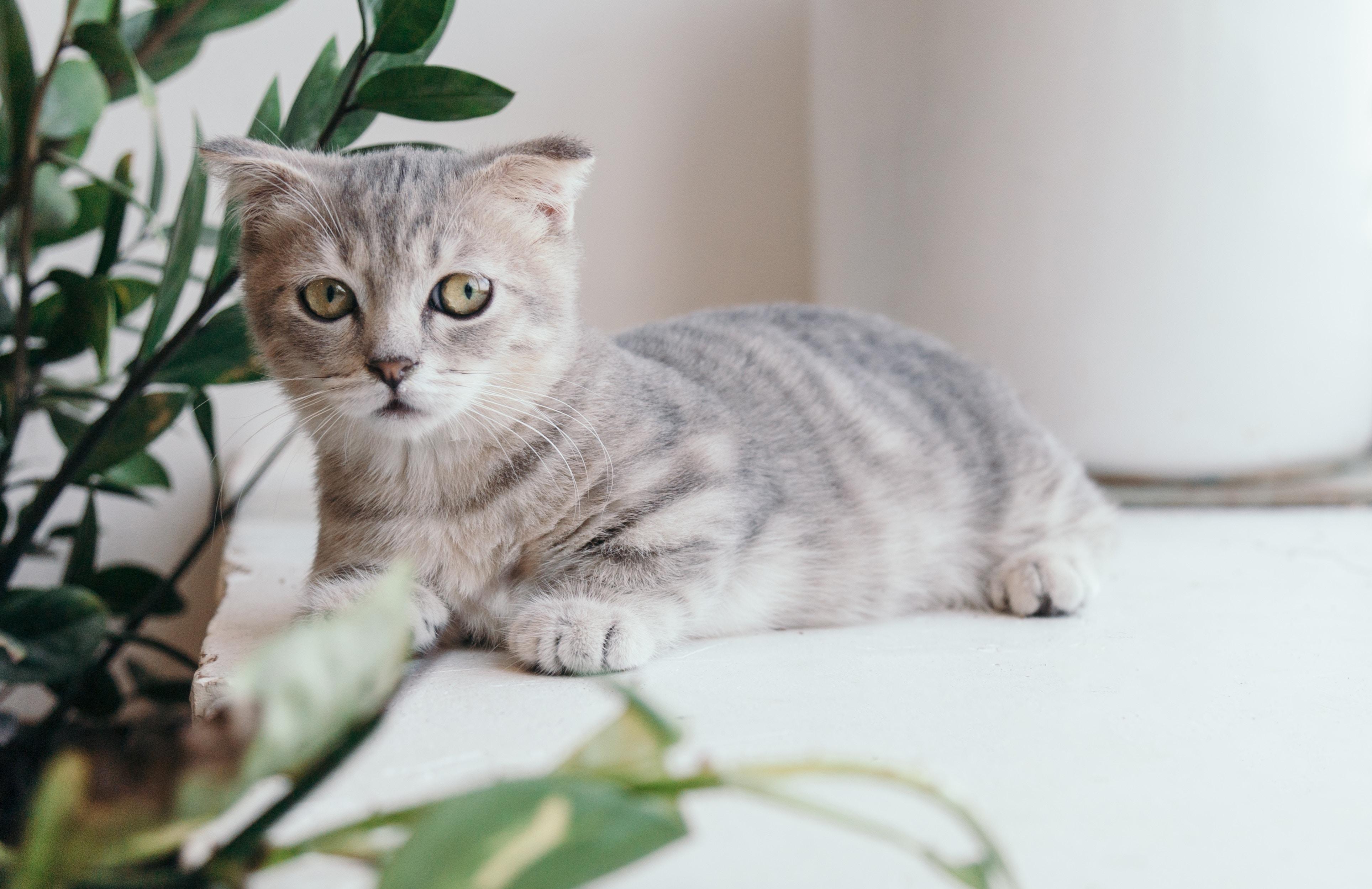 cat-head-injury