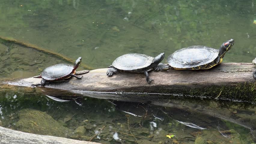 water-turtles