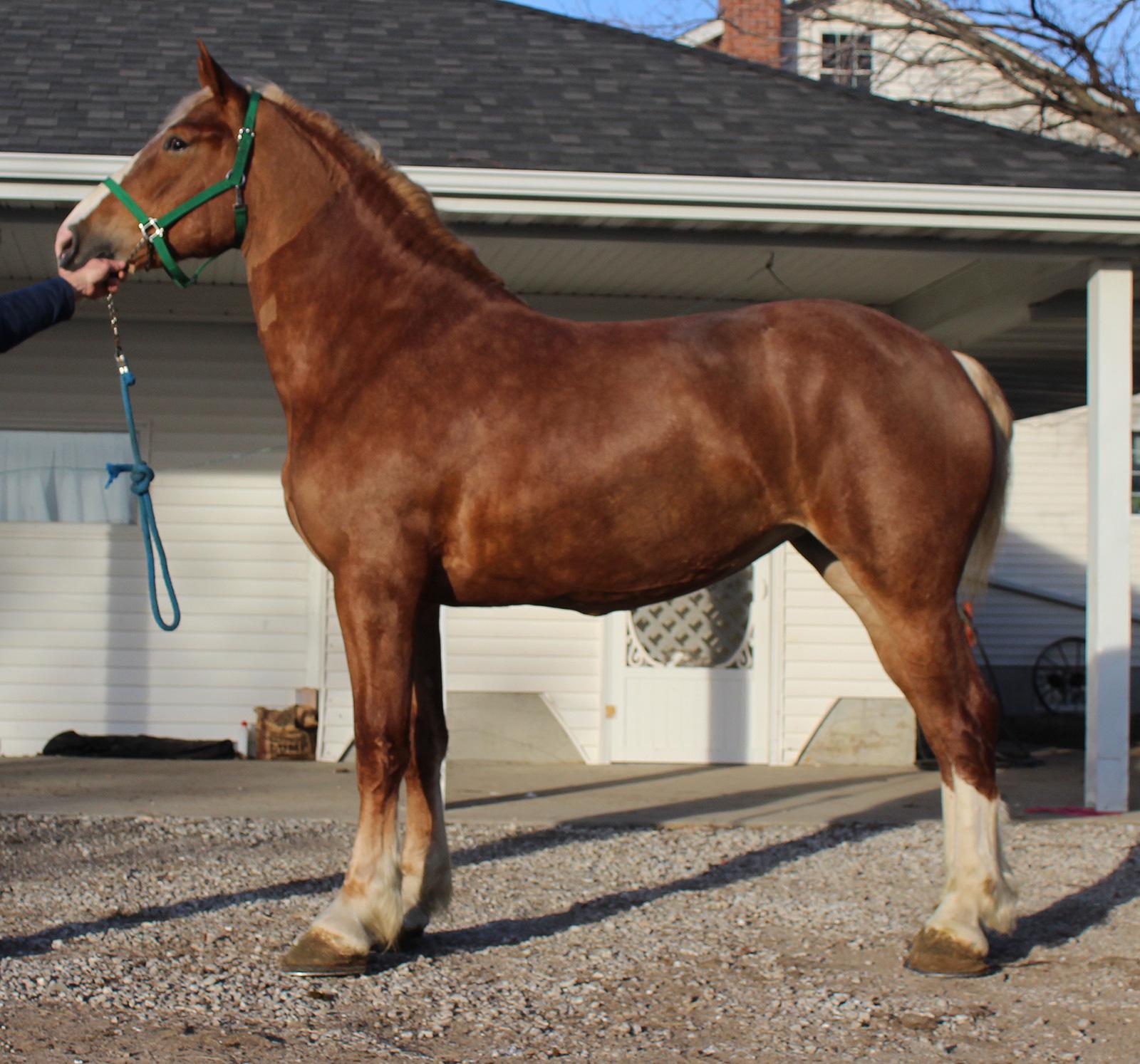Belgian horse character