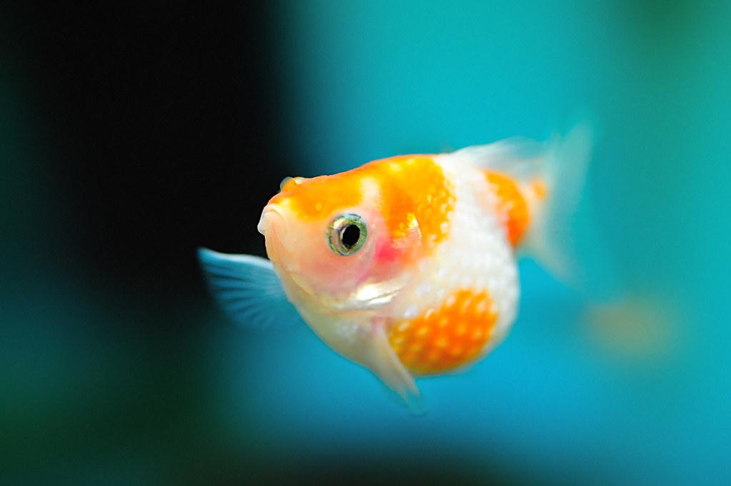 pearlscale-goldfish