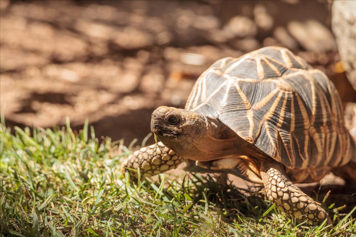 burmese-tortoises