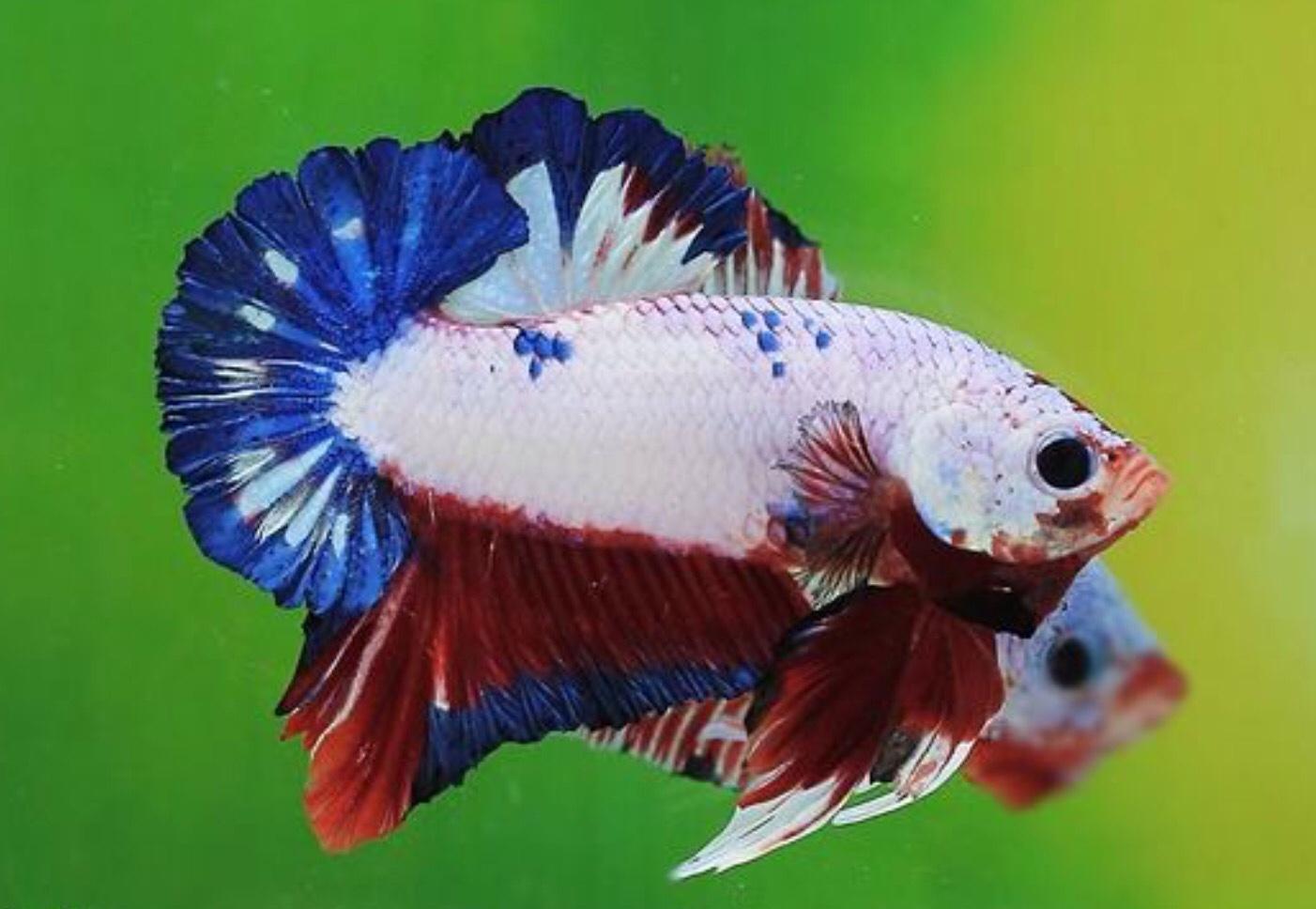 breeding-betta-fish