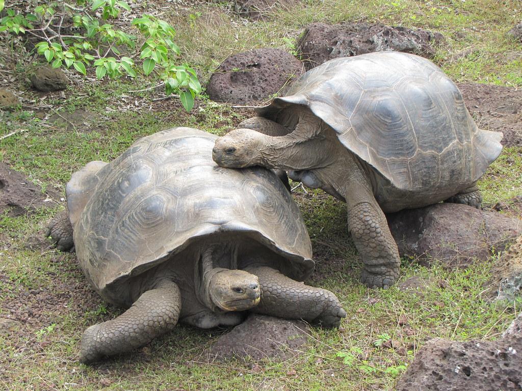 tortoise-breeding