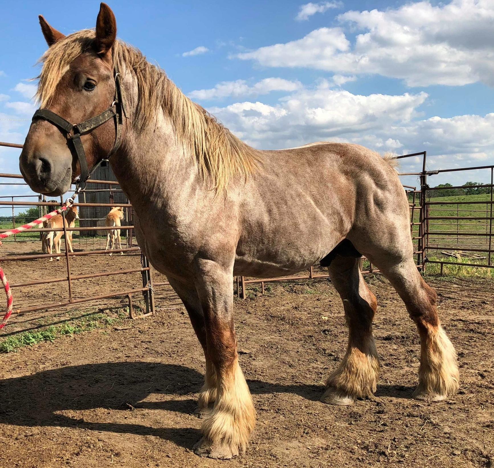 Brabant horse origin
