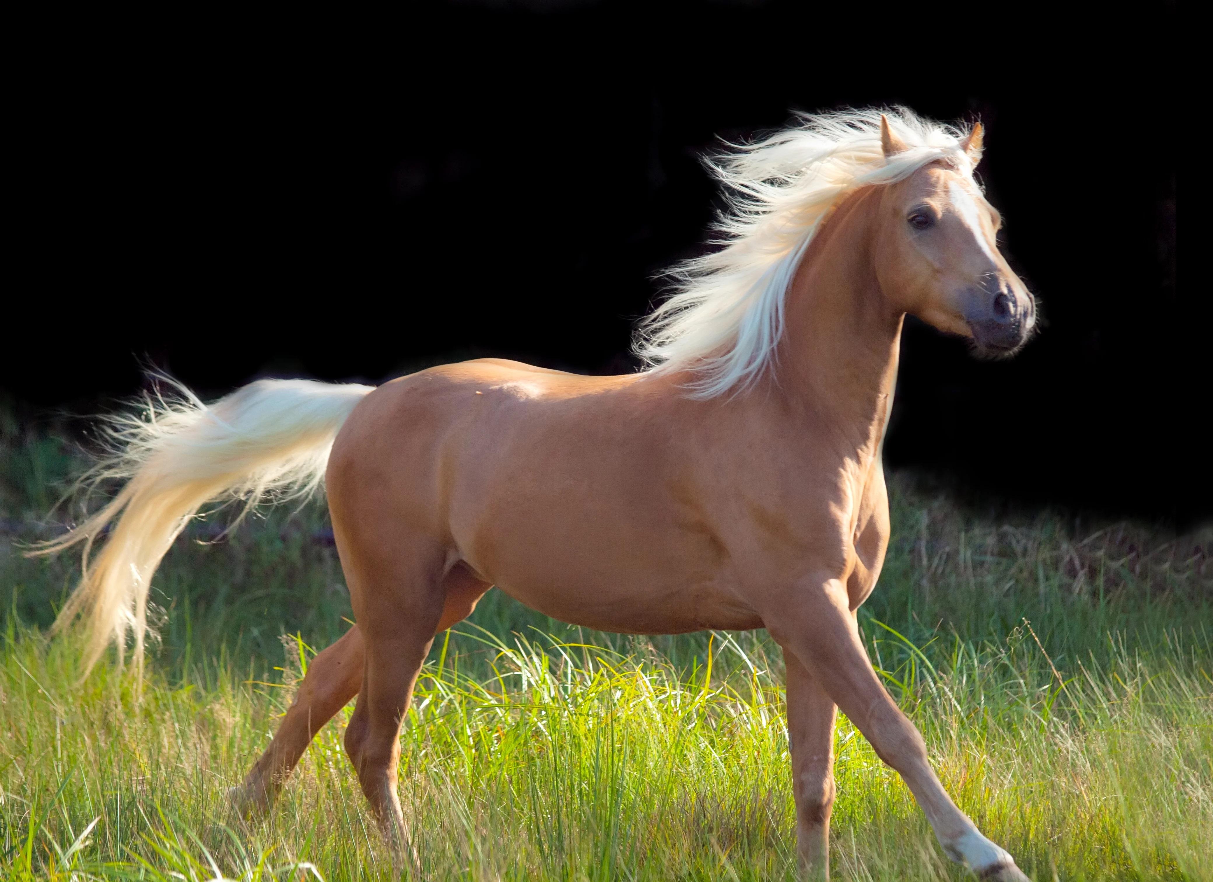 palomino-horse-origin