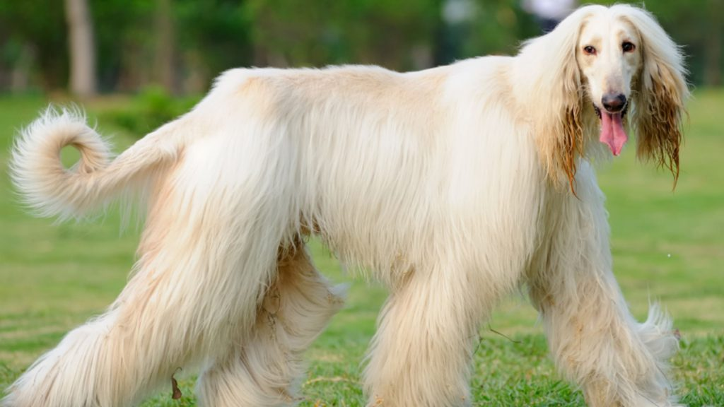 Afghan-hound-health